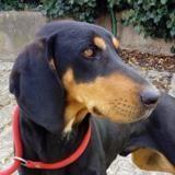 Orman, Chien beauceron croisé beagle à adopter