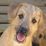 chiot donner adopter un b b chien en france page 15. Black Bedroom Furniture Sets. Home Design Ideas