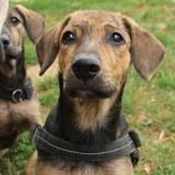 Stanley (réservée) oaa17353, Chiot berger à adopter
