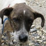 Jenn caa 7353, Chiot berger à adopter