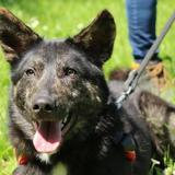 Bolide oaa17620, Chien berger à adopter