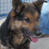 Wima, Chien berger à adopter