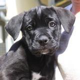 Foxie, Chiot berger à adopter