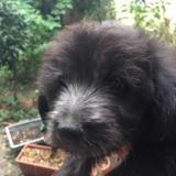 Denis, Chiot berger à adopter