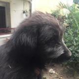 Ruben, Chiot berger à adopter