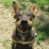 Roxy, Chiot berger à adopter