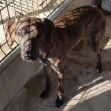 Rita, Chiot berger à adopter