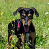 Ivana, Chiot berger à adopter