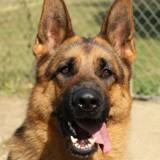 Jango (réservé) oaa16858, Chien berger allemand à adopter