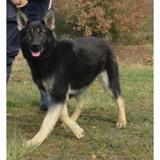 Ria vaa20435, Chien berger allemand à adopter