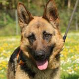 Nancy oaa17708, Chien berger allemand à adopter