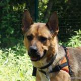 Connor, Chien berger allemand à adopter