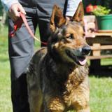 Suzette, Chien berger allemand à adopter