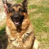 Rocky, Chien berger allemand à adopter