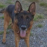Léo, Chien berger allemand à adopter