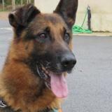 Rox (réservé), Chien berger allemand à adopter