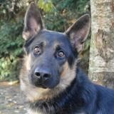 Djengo chao9295, Chien berger allemand à adopter
