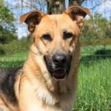 Polochon, Chien berger allemand à adopter