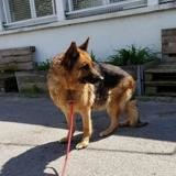 Erone, Chien berger allemand à adopter