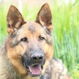 Sam haa22358, Chien berger allemand à adopter