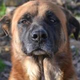 Yocco, Chien berger allemand à adopter