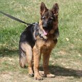 Oscar, Chiot berger allemand à adopter