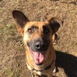 Laika, Chien berger allemand à adopter