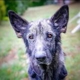 Vaillant (réservé), Chien berger allemand à adopter