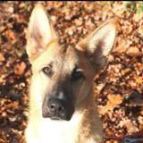 Frisby (réservé), Chien berger allemand à adopter