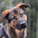 Loupiot, Chien berger allemand à adopter
