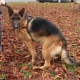 Nino, Chien berger allemand à adopter