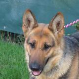 Moka, Chien berger allemand à adopter