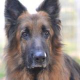 Idalgo, Chien berger allemand à adopter