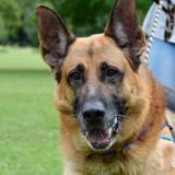 Bacchus, Chien berger allemand à adopter
