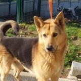 Falko caa9642, Chien berger allemand à adopter
