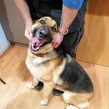 Luna, Chien berger allemand à adopter