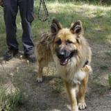 Lilian, Chiot berger allemand à adopter