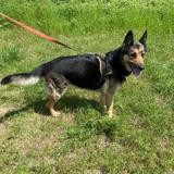 Harmony vaa22933, Chien berger allemand à adopter