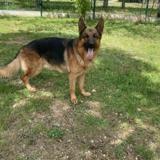 Oscar dit lucky, Chien berger allemand à adopter