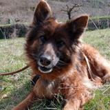 Pimchou, Chien berger allemand à adopter