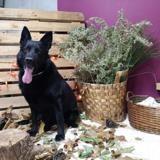Loko, Chien berger allemand à adopter
