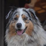 Mambo, Chien berger australien d'amerique à adopter