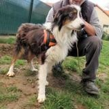 Perla (en placement provisoire), Chien berger australien d'amerique à adopter