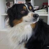 Pako, Chien berger australien d'amerique à adopter