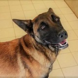Isseps, Chien berger belge malinois à adopter