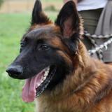 Lyumi - reserve, Chien berger belge malinois à adopter