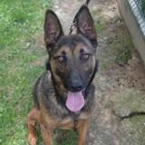 Chucky : chien berger belge malinois à adopter dans la