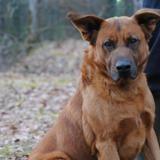 Haigo, Chien berger belge malinois à adopter