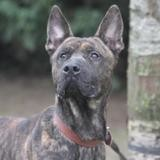 Chico chao9526, Chien berger belge malinois à adopter