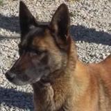 Hirka dog's john, Chien berger belge malinois à adopter